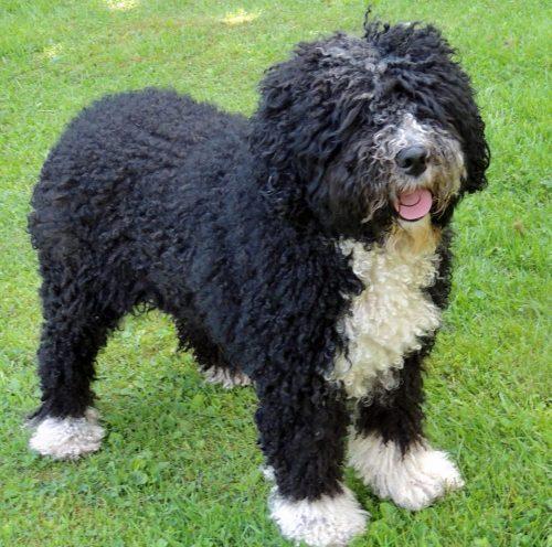 Anniez - Ras: Perro de Agua Espanol