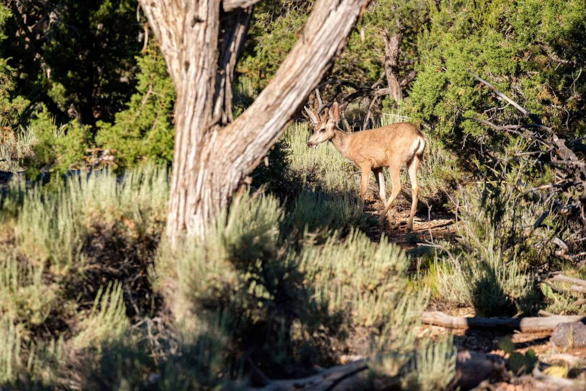 Deer in forest, Grand Canyon National Park, Arizona, USA