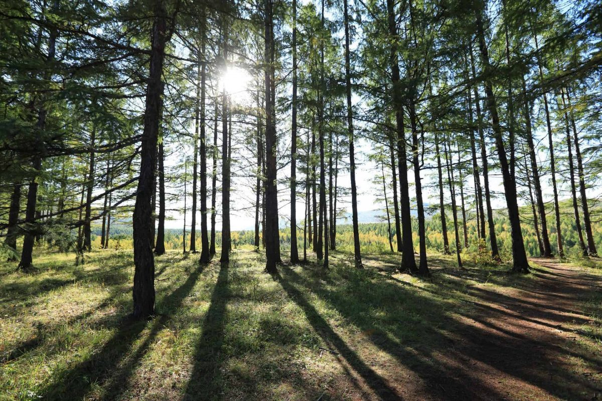sunrise in the pine trees forest