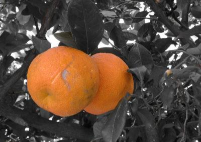 1 Citrus in black white background.
