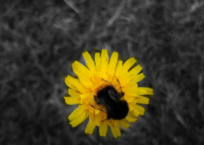Bumble bee sits on dandelion