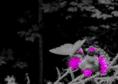 Magenta butterfly on orange thistle.