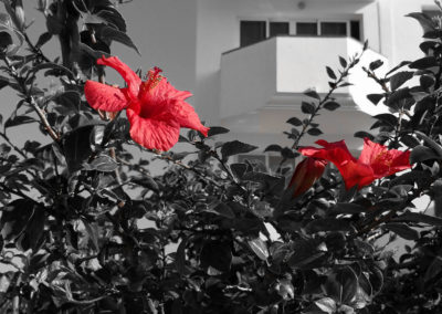 Red flower with black white background.