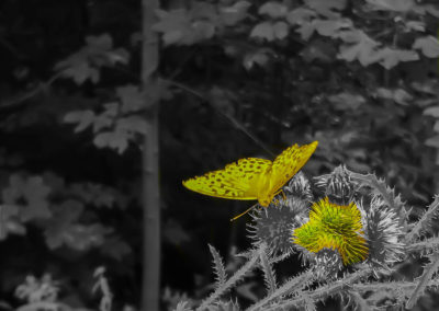 Yellow butterfly on yellow thistle.