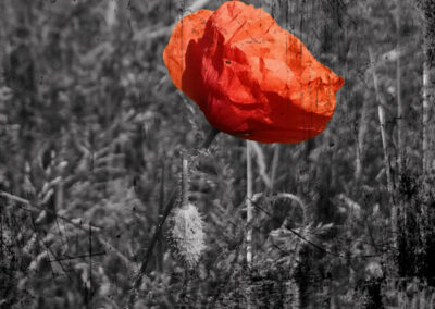 1 Red poppies on a gray background.
