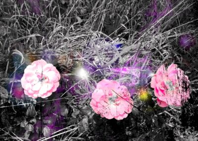 Pink roses in purple land