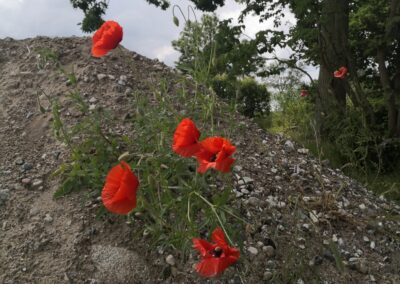 Red poppies on stone piles.