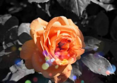 orange rose in colored dot land