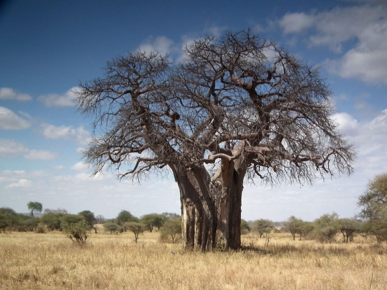 Photo: Baobab tree (Adansonia digitata), Northern Tanzania. © 2010 Nevit Dilmen. CC-BY-SA-3 via Wikimedia Commons.