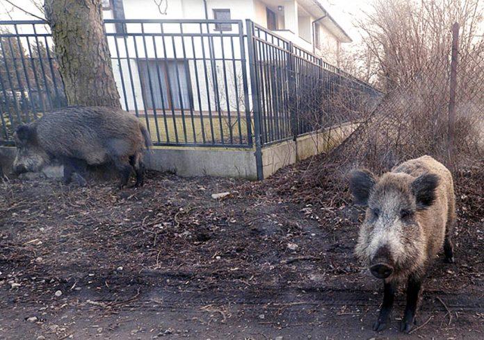 Deadly swine flu outbreak breaks out in Poland near Germany