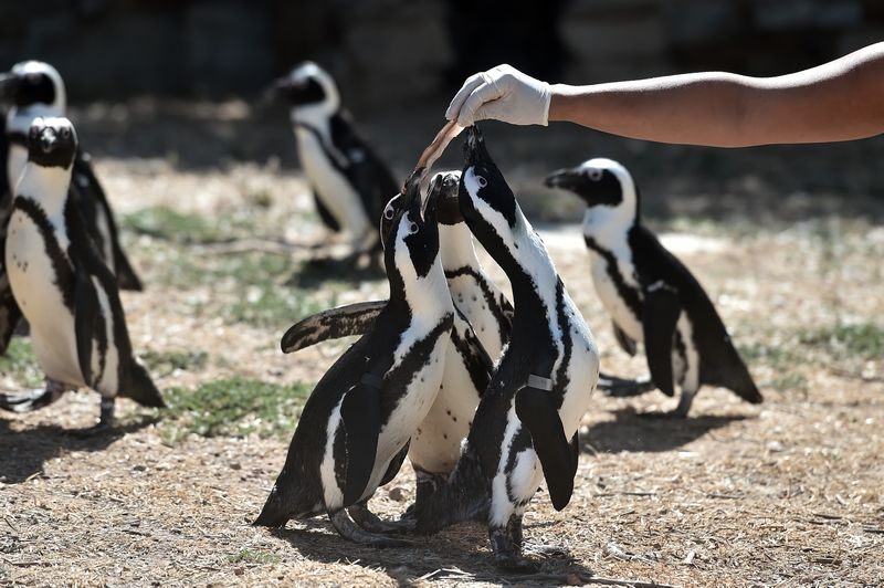 The only penguin that breeds in Africa, it was once South Africa's most abundant seabird. — AFP pic