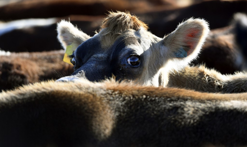 The Ministry of Agriculture and Food Industry has tightened conditions for the import of live cattle to prevent the spread of Lumpy Skin Disease. — AFP pic
