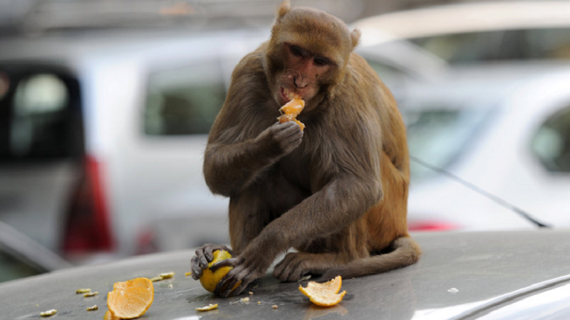 Monkeys have often been spotted in the Kledang Hill area, as locals and hikers continue to feed the animals. — AFP pic
