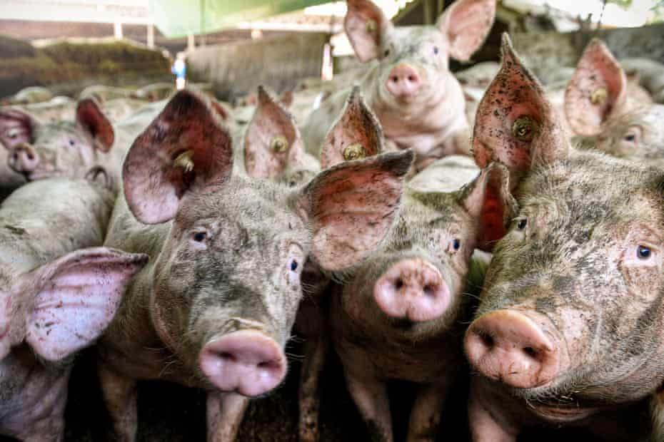 Pigs stand in air-conditioned outdoor stables with straw bedding at a pig fattening farm in Brueggen, Germany.