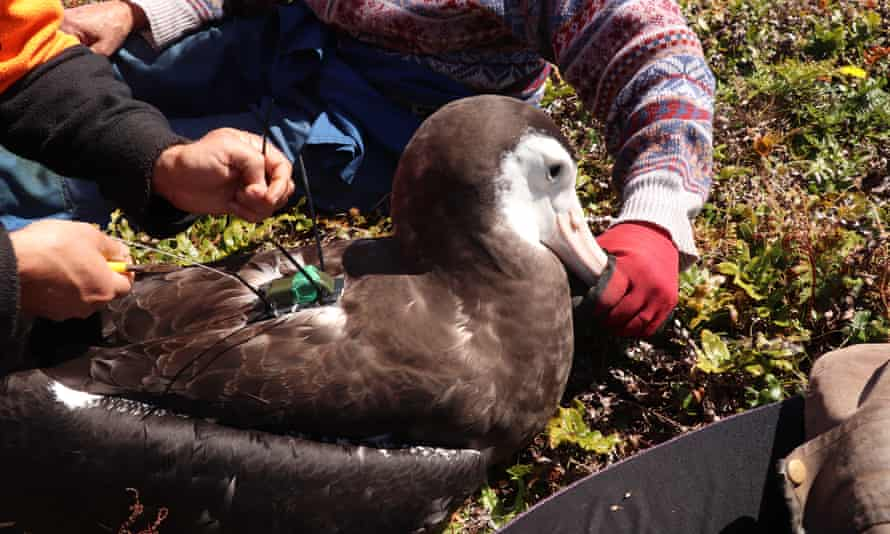 The young albatross was fitted with a tracker so researchers can follow its movements