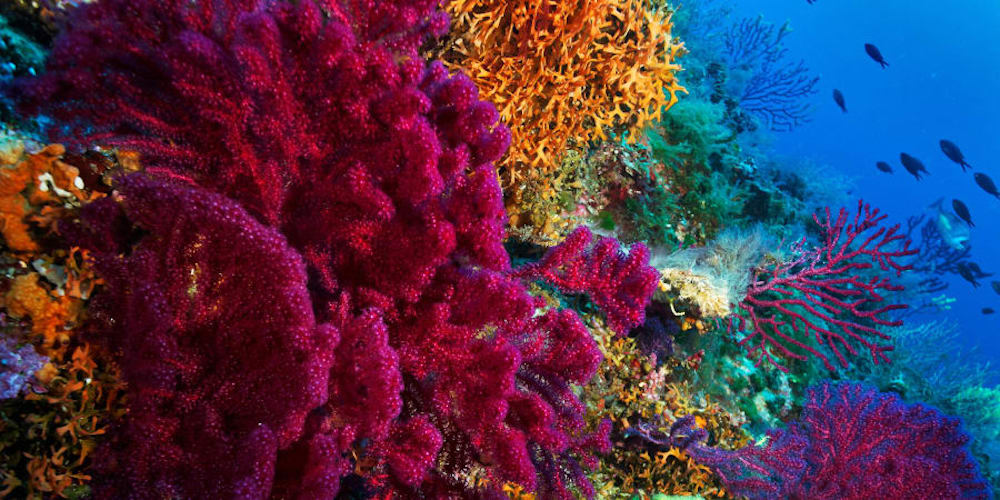 One species of coral that is particularly threatened by climate change is Acropora tenuis, known to have three color morphs: brown, purple and yellow-green. — Picture courtesy of goran_safarek / Shutterstock
