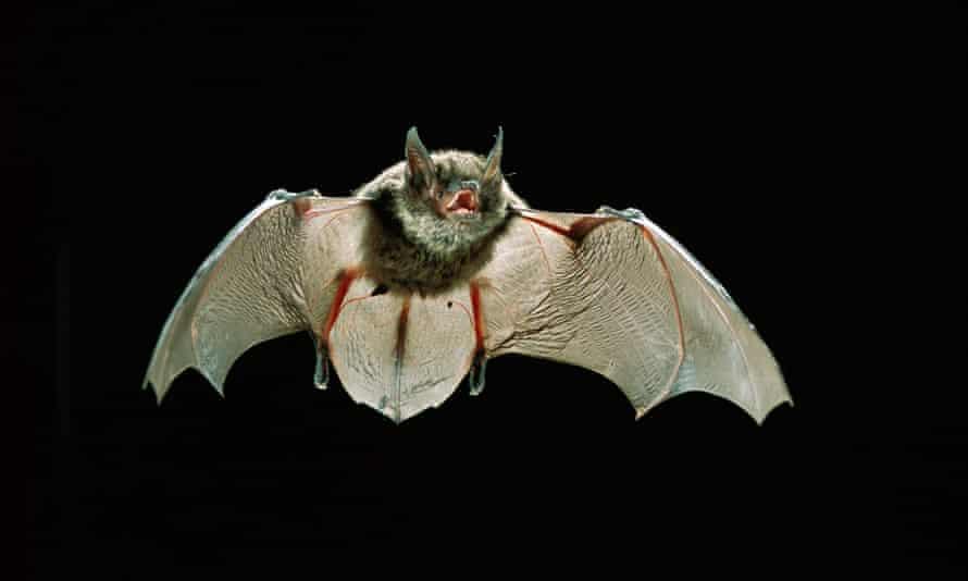 A young Yuma myotis bat flying at night in Rogue River-Siskiyou National Forest, Oregon.