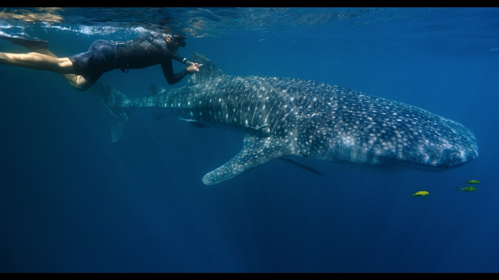 The whale shark is one of several big fish species that are endangered due to habitat degradation and overfishing. — Picture courtesy of National Geographic
