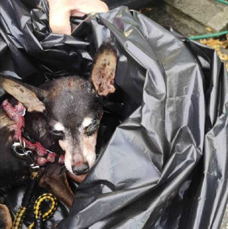 A blind miniature pinscher has been found dumped in a rubbish bag at a dumpsite at Taman Impiana in Menglembu on Thursday morning.