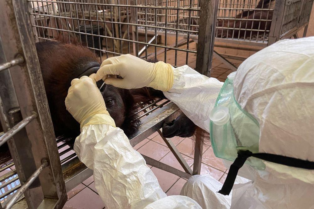 A vet wearing personal protective equipment collects a swab sample from an orangutan for Covid-19 coronavirus testing at the Sepilok Orangutan Rehabilitation Centre in Sandakan. — AFP pic
