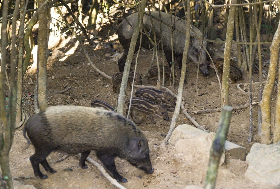Wild boars have been straying into urban areas with increasing frequency. Photo: Sam Tsang