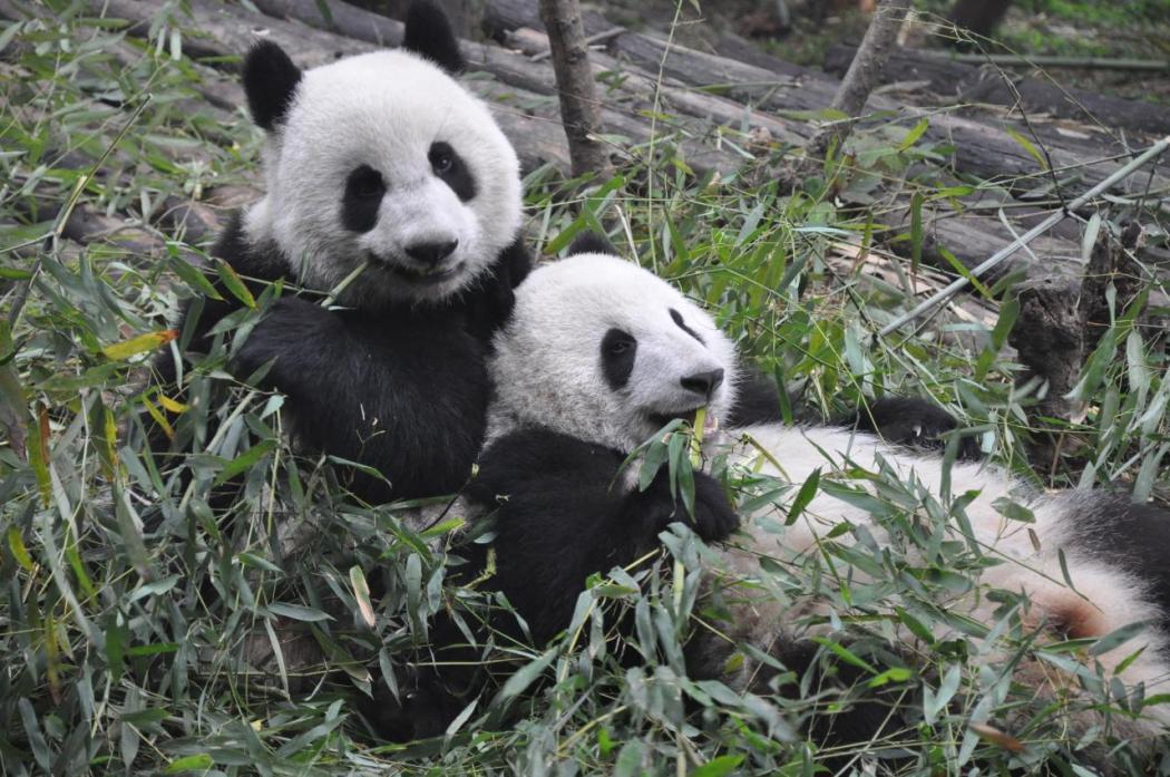 china environment animals nature biodiversity pandas sichuan