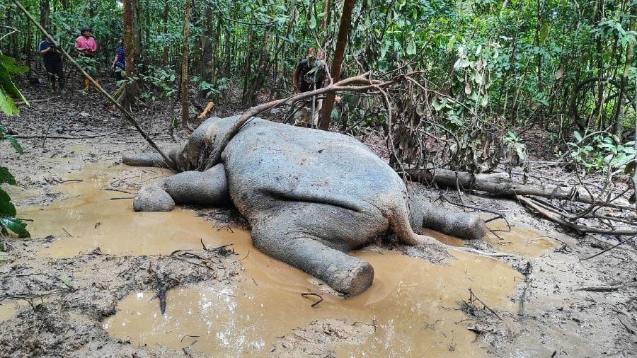 The carcass of a female pygmy elephant was found at a wildlife sanctuary in Sukau. — Borneo Post Online pic