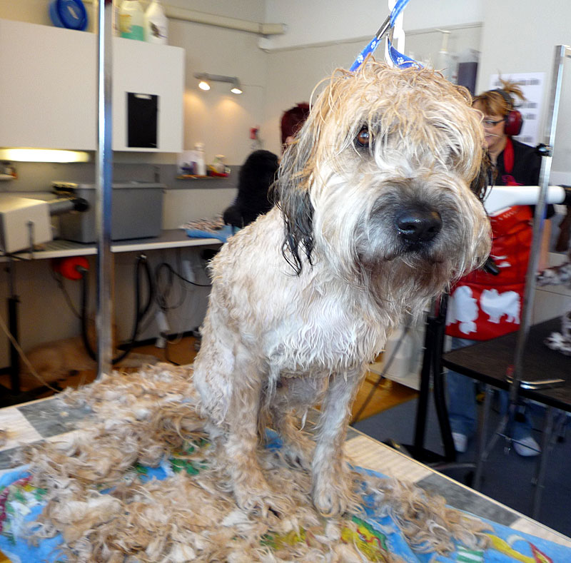 Wet shave av tovig hund - grovrakning klar