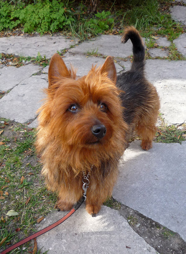 Australisk terrier efter trimning hos hundfrisören i Visby.
