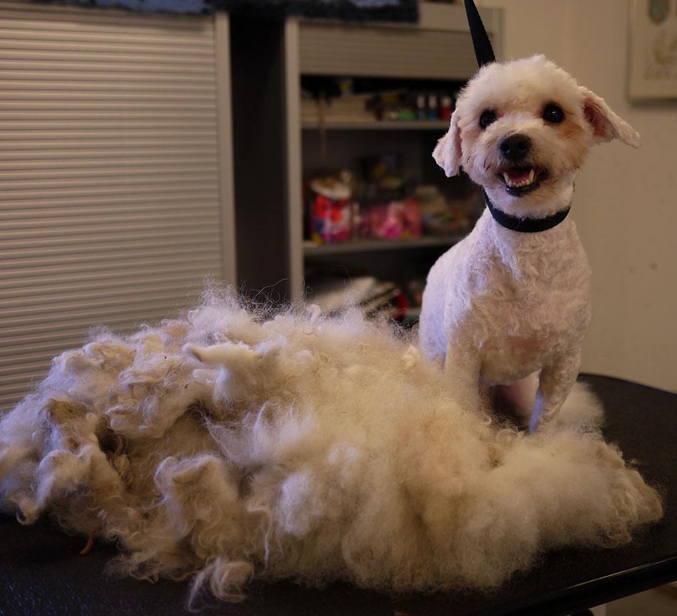 Toviga Max efter klippning hos hundfrisören.