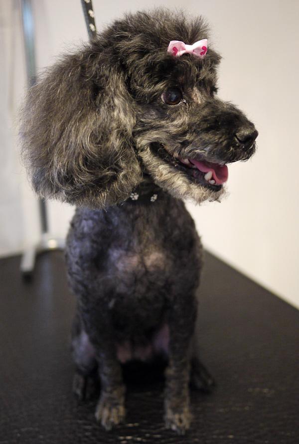 Dvärgpudeln Sonya efter besöket hos hundfrisören.