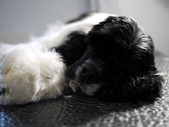 Sovande Amerikansk Cockerspaniel hos hundfrisören i Visby.