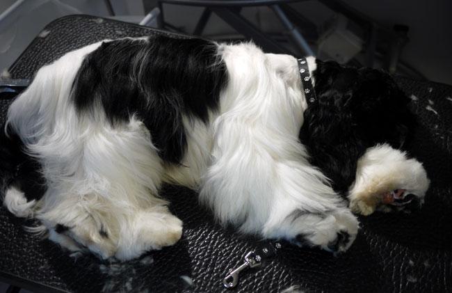 Sovande Amerikansk Cockerspaniel hos hundfrisören.