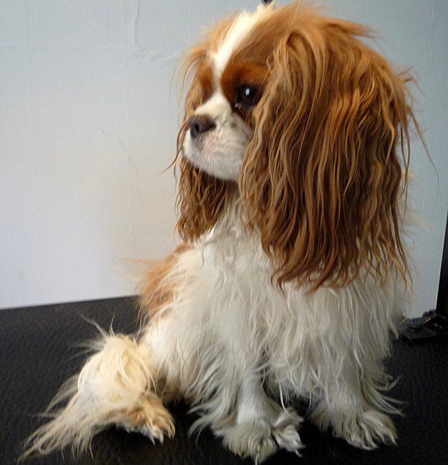 Cavalieren Asta kom till Astas Dog Spa!