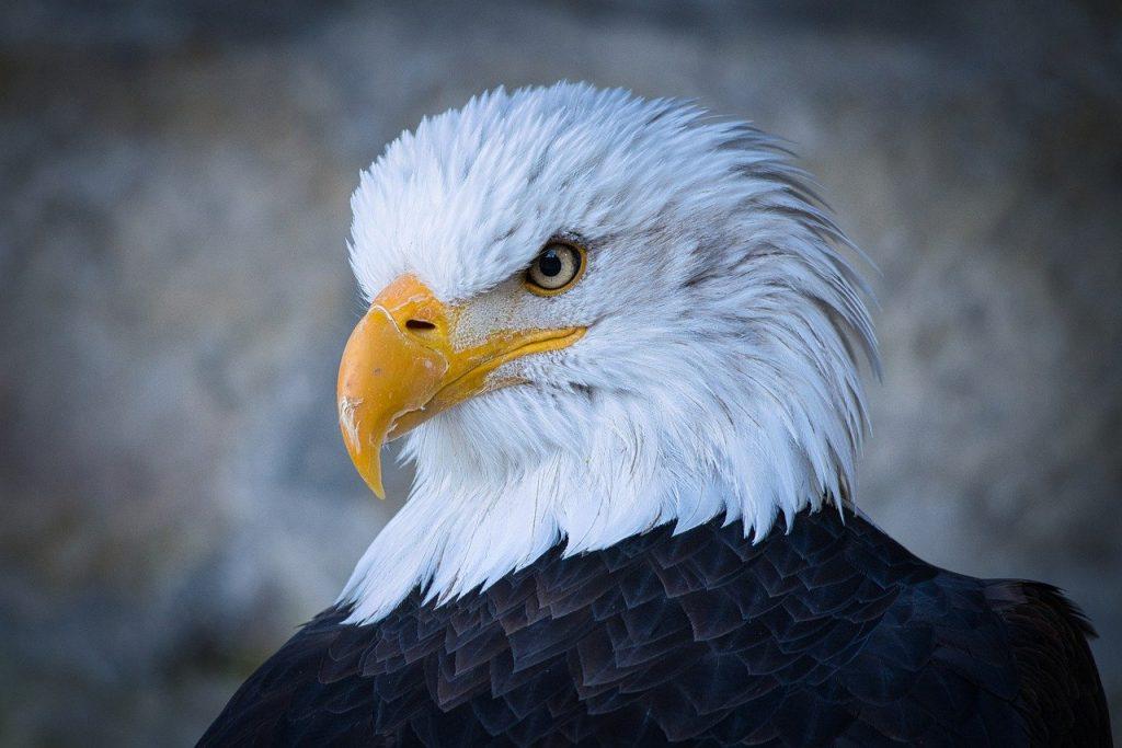 adler, head, bird of prey
