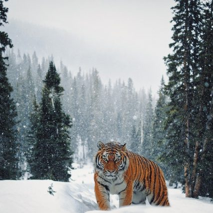 tiger, snow, forest