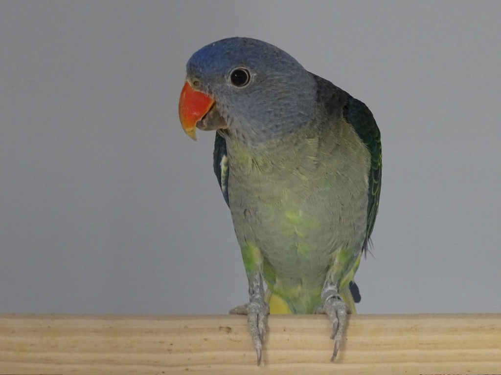 Blue rumped parrot