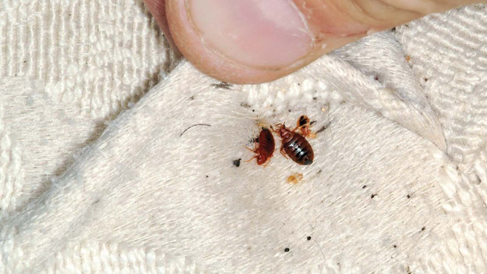 Bed Bugs Extermination Toronto Awesomepest