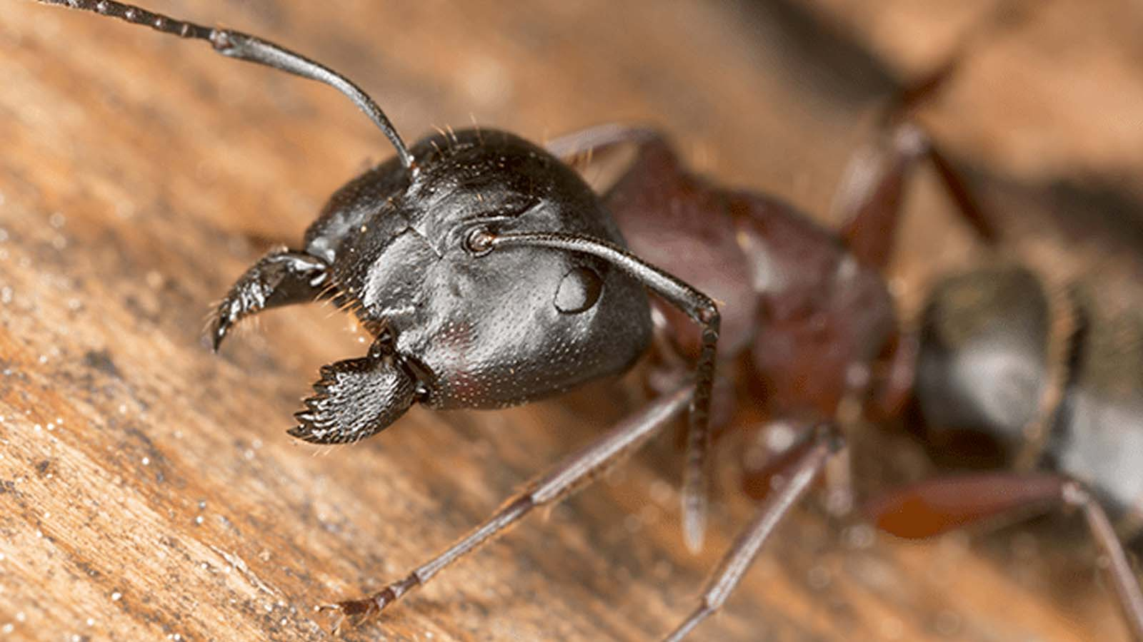 Carpenter Ants Treatment Toronto Services Awesomepest