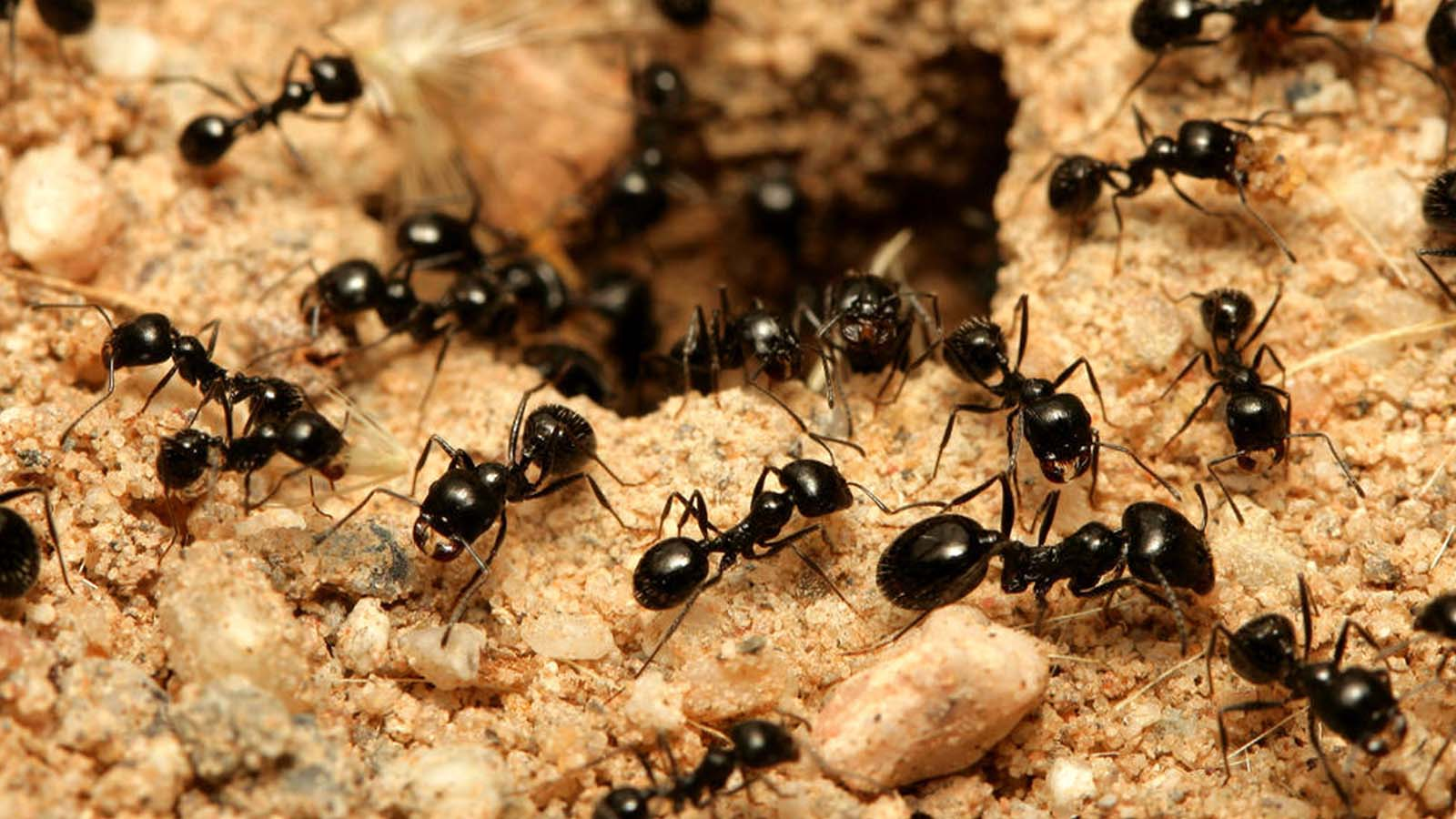 Carpenter Ants Treatments