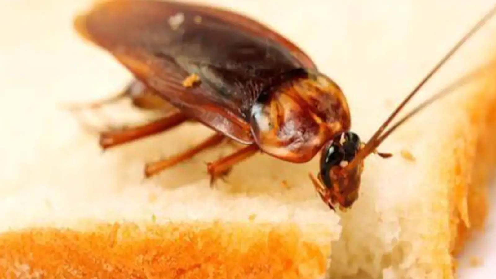 Cockroaches Extermination Services Toronto Awesomepest