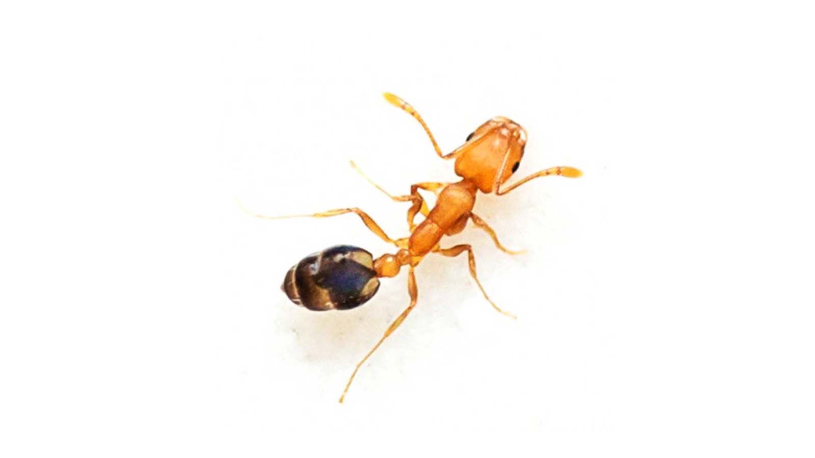 Pharaoh Ants Treatment Services Toronto Awesomepest
