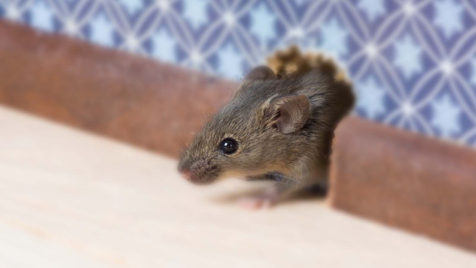 Mice Control Services Toronto Awesomepest