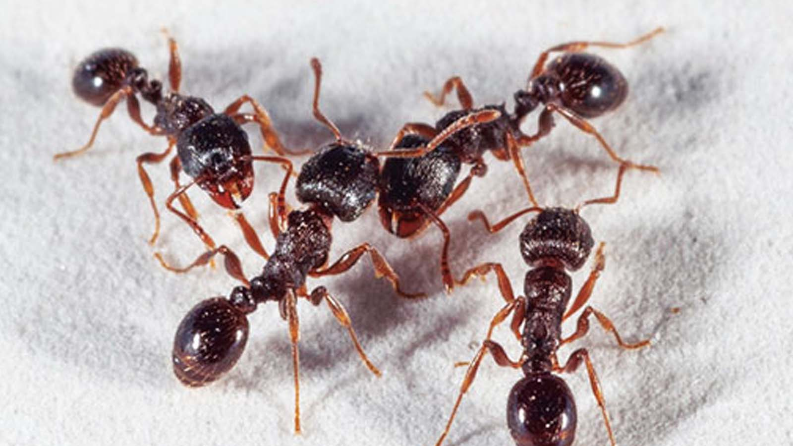 Pavement Ants Treatment Services Toronto Awesomepest