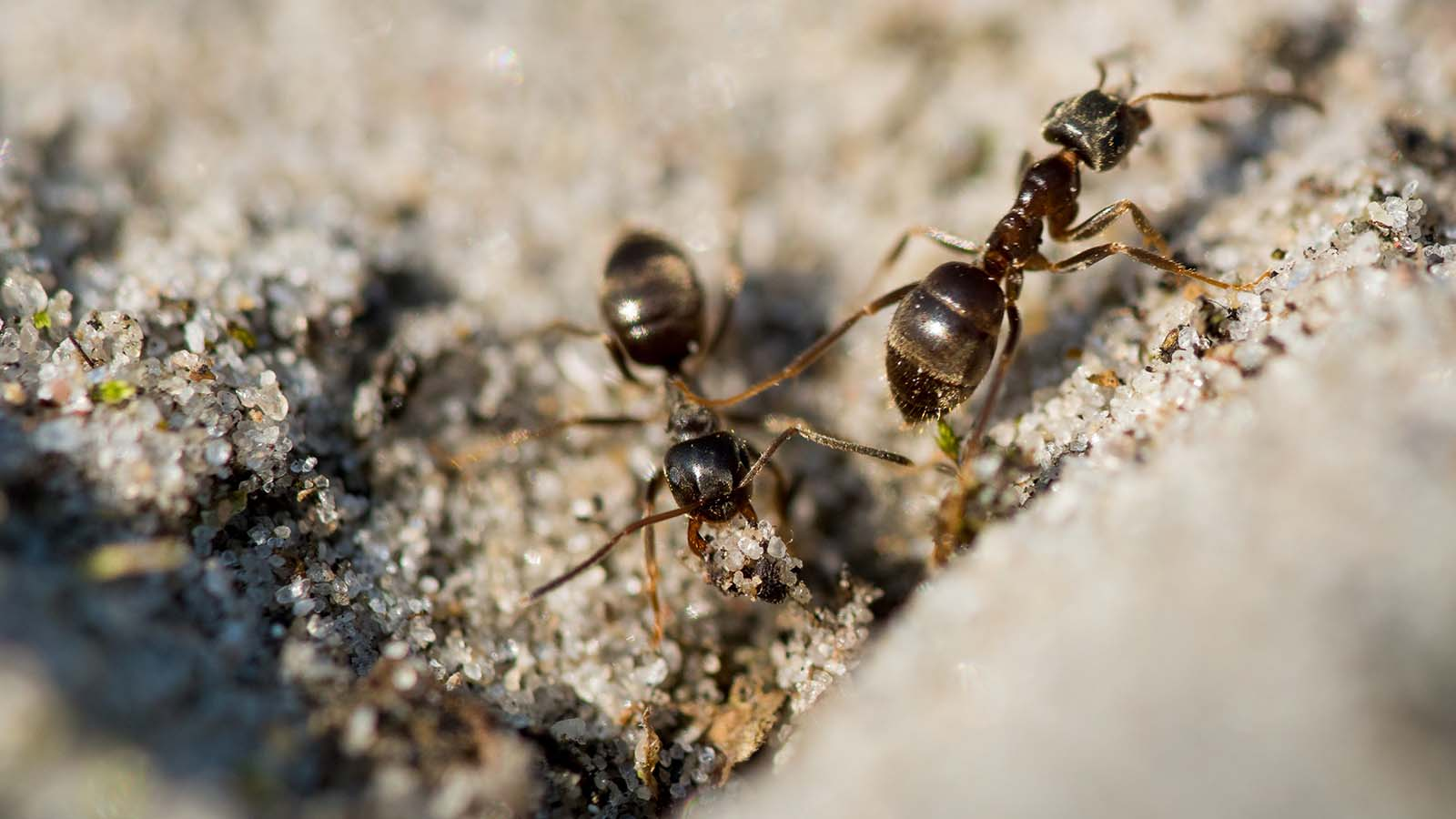 Pavement Ants