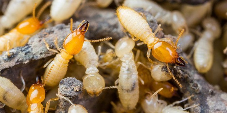 Termite Control Services AweSomePest