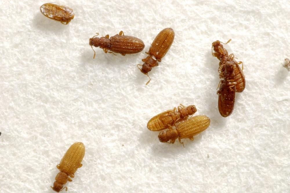 Bed Bug Exterminator Toronto AweSomePest