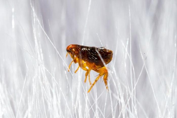 Fleas Control Brampton