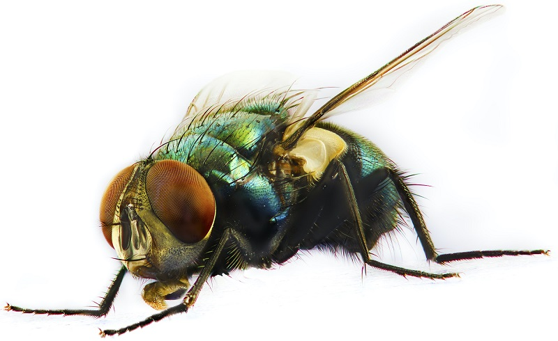 Flies Control Awesomepest