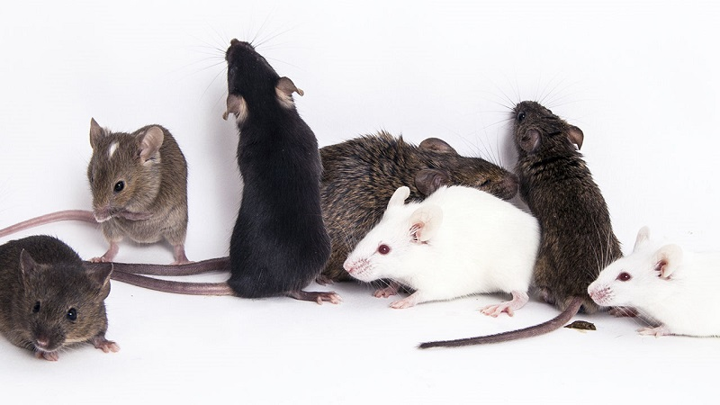 Mice Control Awesomepest